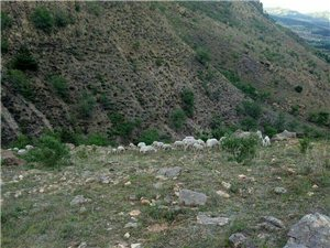 一帮66只羊全部出售