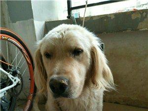 建水自家养的金毛公狗出售