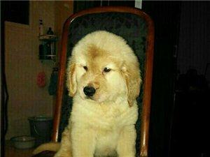 金毛犬出售