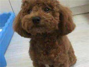 出售三个月泰迪犬〈母狗〉一只