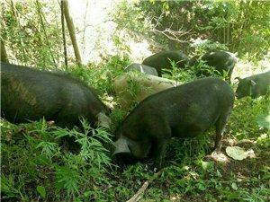出售放养生态土猪