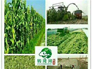 大量收玉米秸秆