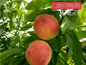 桃树种苗。果树苗木销售