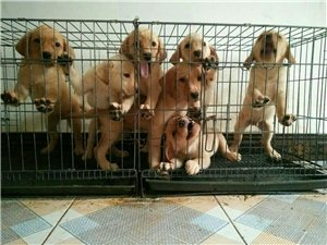 各种精品宠物狗出售