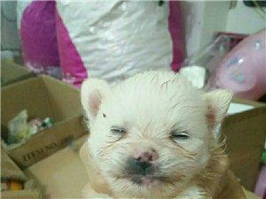 各种名犬出售15881952521微信同号