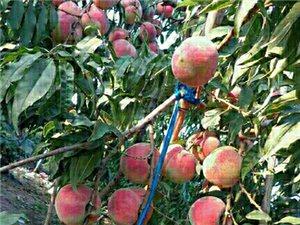 映霜紅桃子上市了