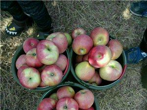 大量蘋果出售