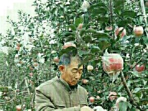 富士苹果自主销售