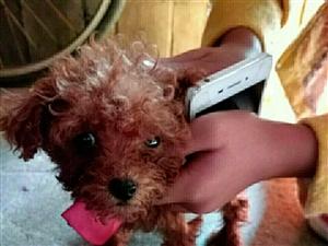低價轉讓二月泰迪幼犬