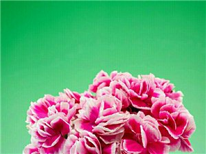 出售紫薇,大葉女貞