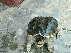 家养鳄龟一只