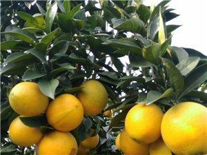 东江脐橙园大量脐橙批发
