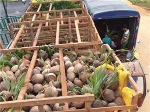 批發泰國矮椰苗17789849805
