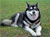 阿拉斯加母狗一条,养了不到一年,找养家,...