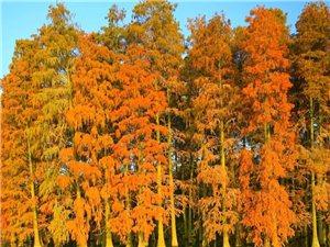 弥陀寺的水杉