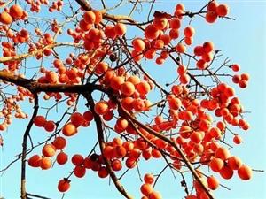 醉美新观柿子红'