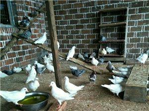 長期出售家養鴿子