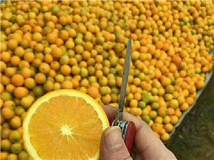 诚招冰糖芝麻橙代理