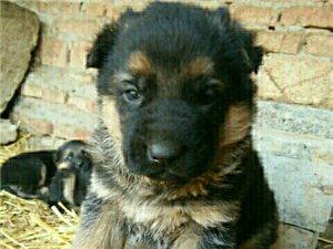 出售德牧幼犬