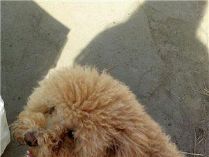 寻狗启事黄色泰迪