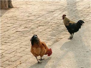 散養雞出售   神童山