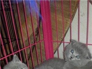自家繁殖美短毛貓