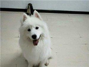 現有薩摩耶犬一只出售