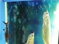 嘉峪关出售60公分左右银龙鱼2条,售价400有想法的联系,另外送20公分左右鲨鱼一条。