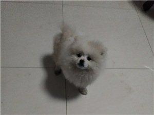 纯白纯种博美犬现急于出售