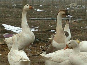 江苏骆马湖生态鹅养殖
