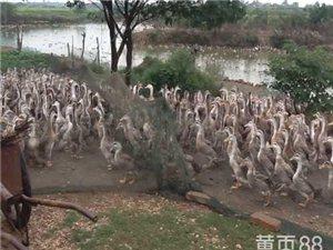 生态鹅养殖