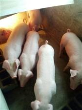 瘦肉型仔猪,已阉割,6头,每斤12元联系电话18007991572,贺生