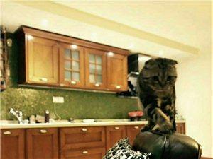 尋找虎斑貓