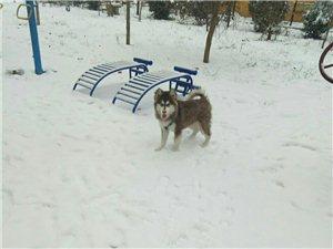 成犬阿拉斯加出售