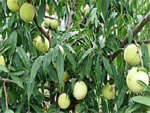 出售桃樹苗