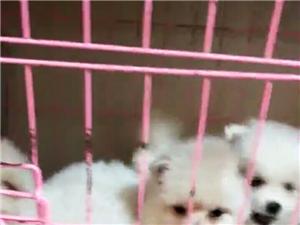 博美,哈士奇,萨摩,拉布拉多幼犬189094701