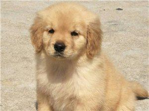 单血家养金毛幼犬