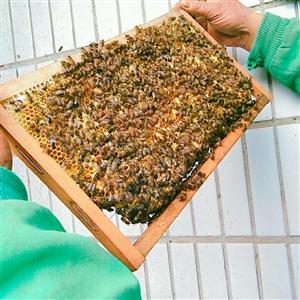 家养中蜂酿的纯菜花蜜,不掺加任何糖精。价格私聊