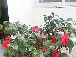 20年老茶花,稀有品种,自己种植仅此一颗。正植花期,贩子勿扰。