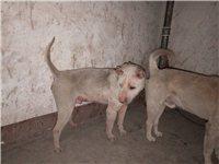正宗土猎犬,曾经协助猎人打得过野猪。