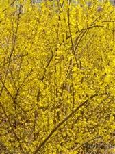 大量出售莲翘树苗价格面议联系15719255486