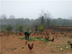出售土鸡与鸡蛋纯天然