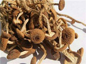 家种茶树菇卖
