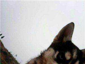 寻找狗狗3个月大哈士奇