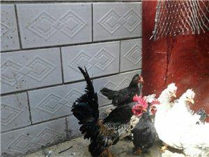 观赏鸡,白桂,元宝,柳叶翻毛鸡