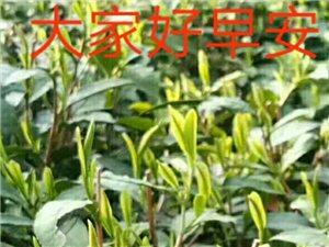高山有机绿茶