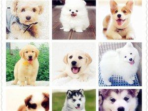 重庆狗场直销各类世界名犬