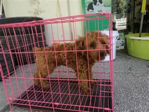 可爱的泰迪狗狗,由于过敏忍痛割爱,有要的跟我联系