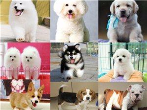 重慶各類品種純種精品狗狗出售包健康協議
