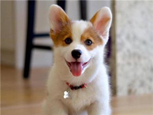 重庆各类品种狗狗出售中包健康签协议